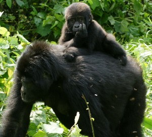 """Gorillas in Uganda-3, by Fiver Löcker"" by Fiver Löcker from Wellington, New Zealand - Gorilla Tracking - 20. Licensed under CC BY-SA 2.0 via Wikimedia Commons - http://commons.wikimedia.org/wiki/File:Gorillas_in_Uganda-3,_by_Fiver_L%C3%B6cker.jpg#/media/File:Gorillas_in_Uganda-3,_by_Fiver_L%C3%B6cker.jpg"